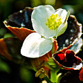 White Begonia At Pilgrim Place In Claremont-california  by Ruth Hager