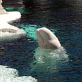 White Beluga Whale 3 by Angelina Vick