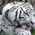 White Bengal Tiger by David Lee Thompson