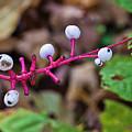 White Berries - Kettle Moraine 10-14-16 by Michael Havice