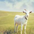 White Billy Goat by Debi Bishop