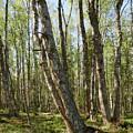 White Birch Forest by Jouko Lehto