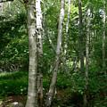 White Birch Tree by Nancie DeMellia