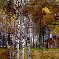 White Birch Wbwc by Jim Brage