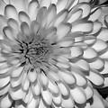 White Bloom by Susan Cliett