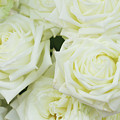 White Blooming Roses by Anastasy Yarmolovich