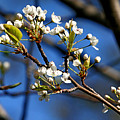 White Blooms by Marle Nopardi