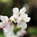 White Blossom  by Dean Triolo