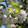 White Blossom by Michaela Perryman