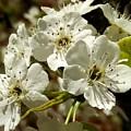 White Blossom  by Mioara Andritoiu