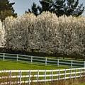 9004 - White Blossom Trees Along White Fenceline by Sheryl Sutter