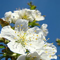 White Blossoms Art Prints Spring Tree Blossoms Canvas Baslee Troutman by Baslee Troutman