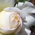 White Blush Rose by Edythe Heilner