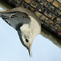 White Breasted Nuthatch At The Suet Feeder by Victoria Dauphinee