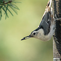 White-breasted Nuthatch by Constance Puttkemery