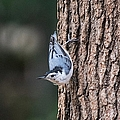 White-breasted Nuthatch by Mary Ann Artz