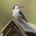 White-breasted Nuthatch by Mike Dawson