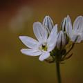 White Brodiaea by Jeff Swan