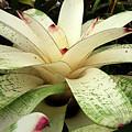 White Bromeliad by Nareeta Martin