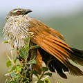 White-browed Coucal by Aivar Mikko