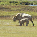 White Buffalo by Ernie Echols