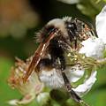 White Bumblebee by Bob Kemp
