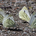 White Butterflies by Bob Kemp