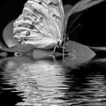 White Butterfly Bw by Elisabeth Lucas