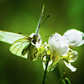 White Butterfly by Christine Dorfer
