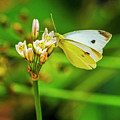 White Butterfly by Edita De Lima