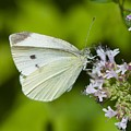 White Butterfly by Robert Skuja
