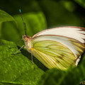 White Butterfly Sunning by Rikk Flohr