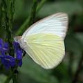 White Butterfly by Zina Stromberg