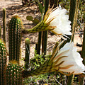 White Cactus Flowers by Carol Groenen