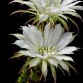 White Cactus Flowers by Saija  Lehtonen