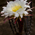 White Cactus Fower by Jean Noren