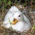 White Call Duck Sitting On Eggs In Her Nest by Jason Jones