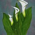 White Calla Lilies by Peter Piatt