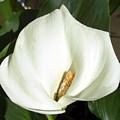 White Calla Lily by Frederic Kohli