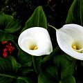 White Calla Lily by Gene Parks