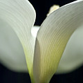 White Calla Lily by Heiko Koehrer-Wagner