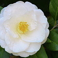 White Camellia by Isabela and Skender Cocoli
