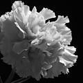 White Carnation Monochrome by Jeff Townsend