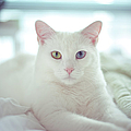 White Cat Laying On Comfy Bed by by Dornveek Markkstyrn
