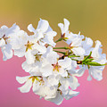 White Cherry Blossoms Against A Pink And Gold Background by Steve Samples