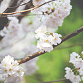 White Cherry Blossoms  by Ivy Ho