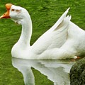 White Chinese Goose by Susan Garren