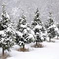 White Christmas At The Christmas Tree Farm by Jim Newman