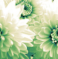 White Chrysanth Flowers by Trude Janssen