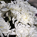 White Chrysanthemum by Clayton Bruster